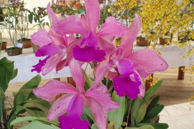 Foto 36ª Exposição de Orquídeas ocorre neste fim de semana
