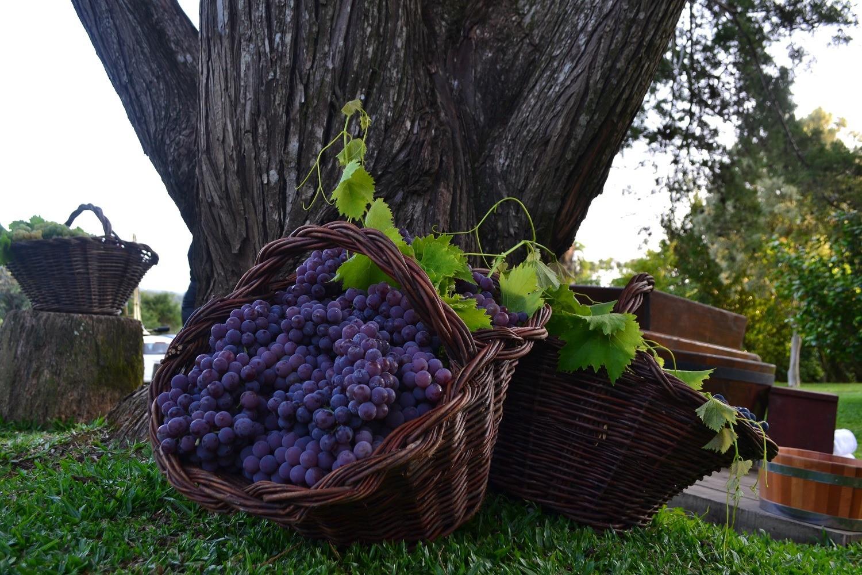 Foto Colheita e pisa de uvas na programação do Veraneio da Vindima