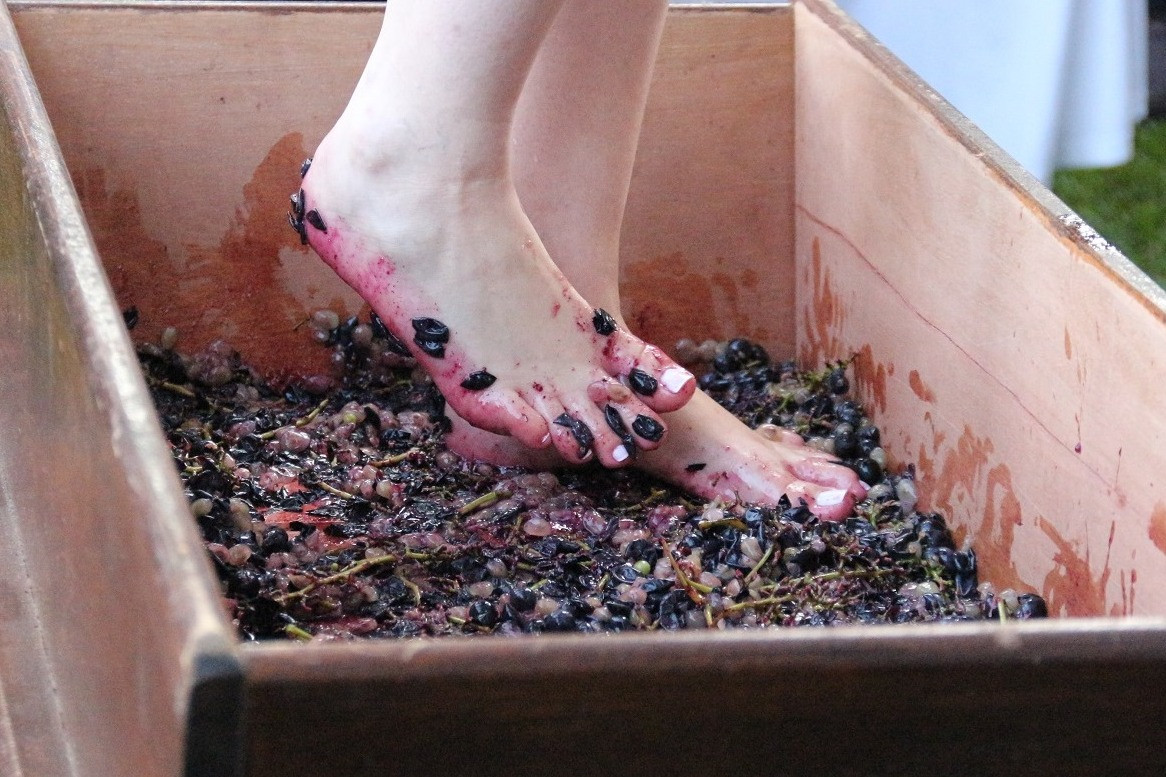 Foto Colheita e pisa da uva são destaque do Veraneio da Vindima em Garibaldi